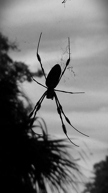 big spider, black and white photo