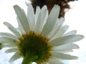 Daisy from beneath