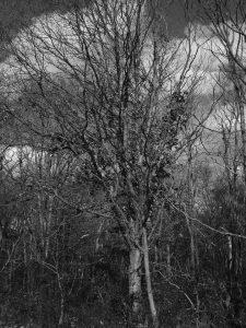 Black and white photo of hibernating tree