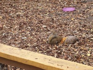 Squirrel and tortoise eating from a bowl of food