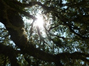 Sunlight shining through the branches of a live oak.