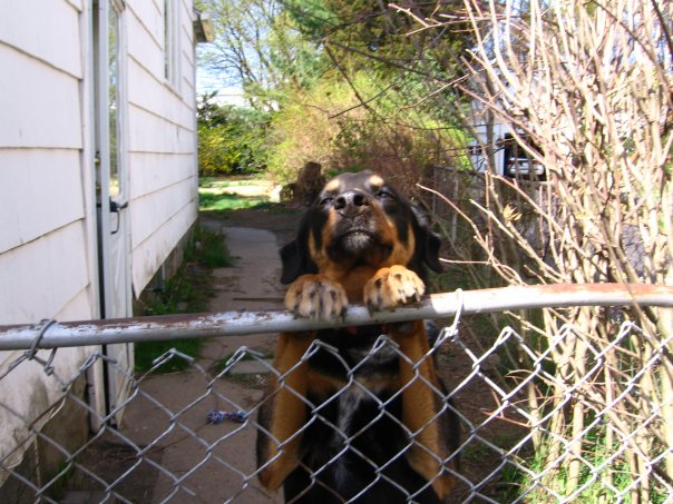 Shepherd Rottie mix dog with her paws on a metal fence