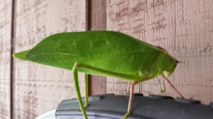Leaf-shaped bug (giant!)