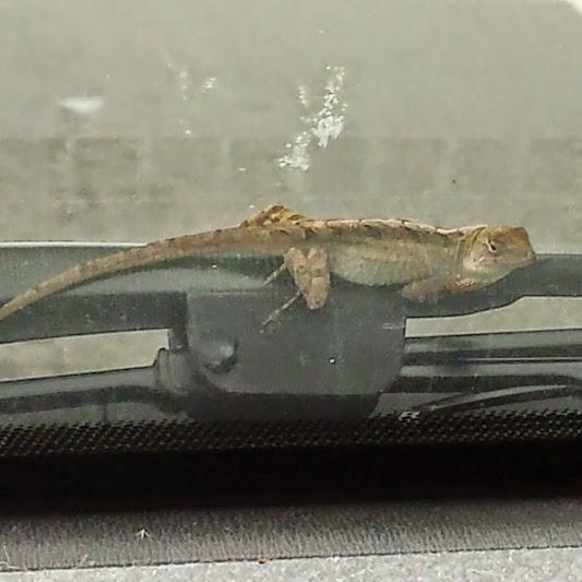 lizard on the widshield wiper