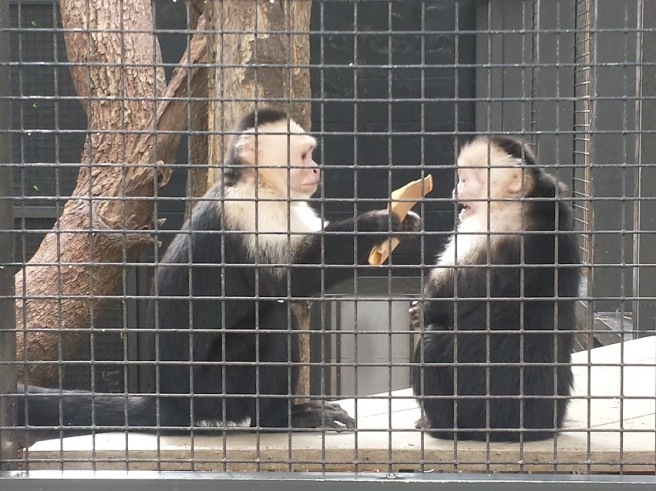 Capuchin monkey offers another monkey a peace offering of food