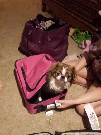 Japanese Chin sitting in a small pink suitcase