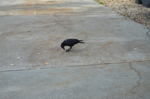 Crow eating crackers
