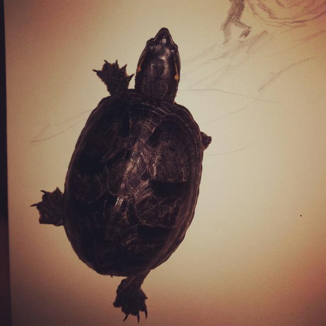 Stink pot turtle
