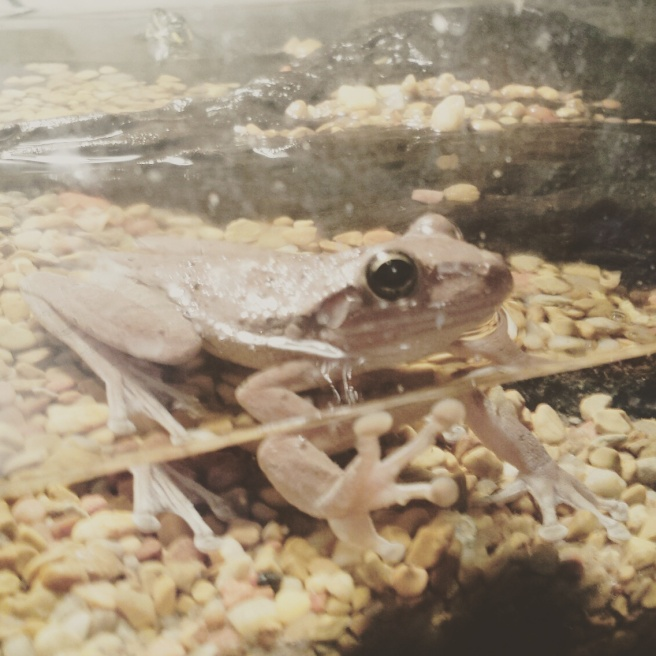 Cuban tree frog in water