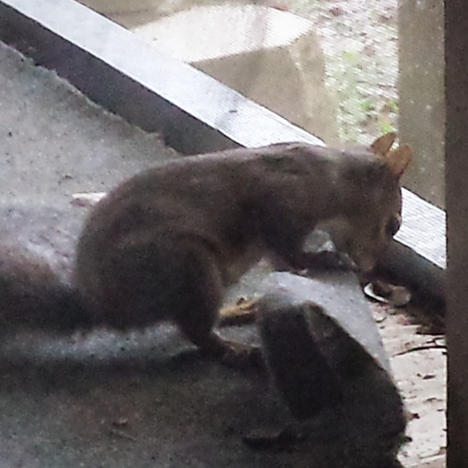 Squirrel tearing up the carpet on the back porch