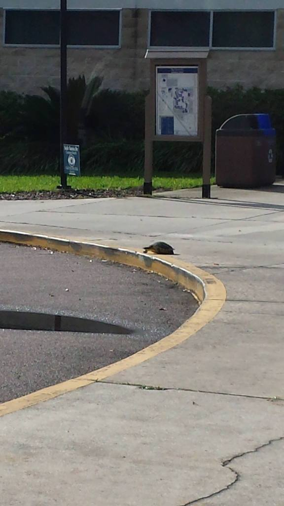 Florida Gopher Turtle on a sidewalk