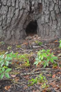 Hole in the base of a tree where a squirrel lives
