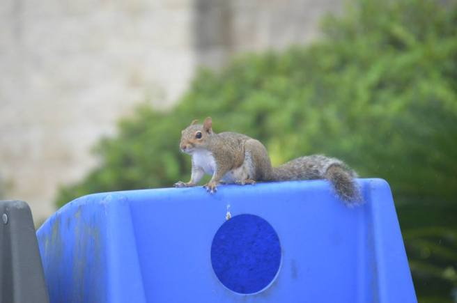 Squirrel on a recycling can